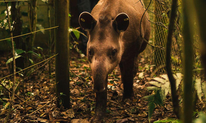 Read more about the article Anta nasce em reserva onde espécie estava extinta há mais de 100 anos